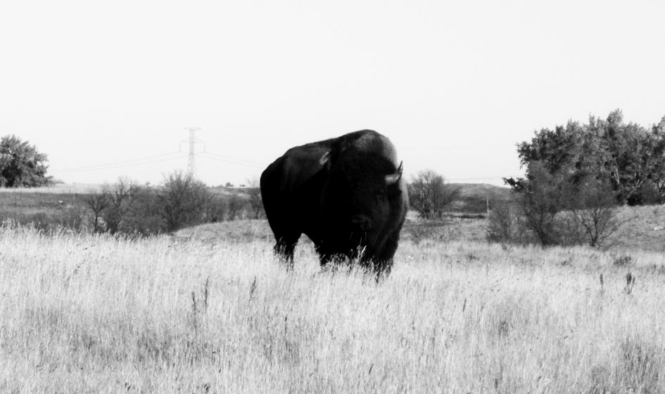 Buffalo Coulee Ranch Bison