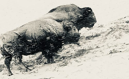 winter bison facing the storm